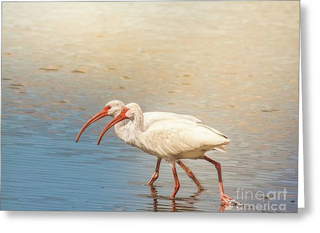 Dance Of The White Ibis Greeting Card