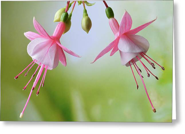 Greeting Card featuring the photograph Dancing Fuchsia by Terence Davis