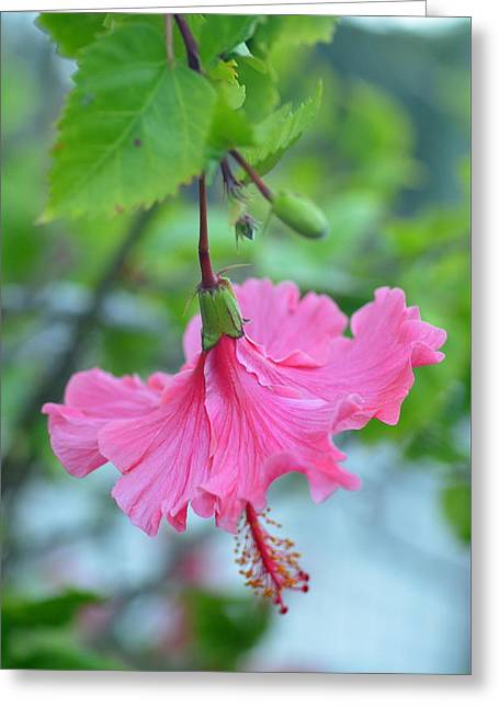 Dancing Lady Pink Hibiscus Greeting Card by Amy Fose
