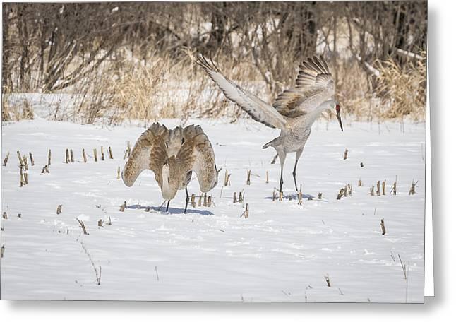 Dancing Sandhill Cranes 2016-1 Greeting Card