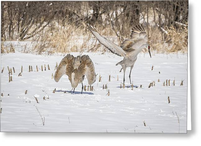 Dancing Sandhill Cranes 2016-1 Greeting Card by Thomas Young