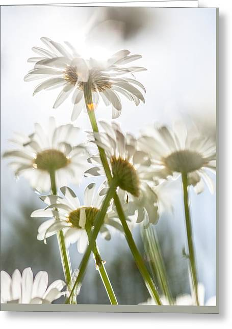 Dancing With Daisies Greeting Card
