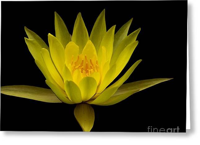 Dancing Yellow Lotus Greeting Card