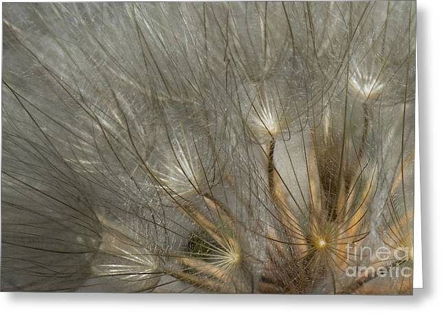 Dandelion 3 Greeting Card