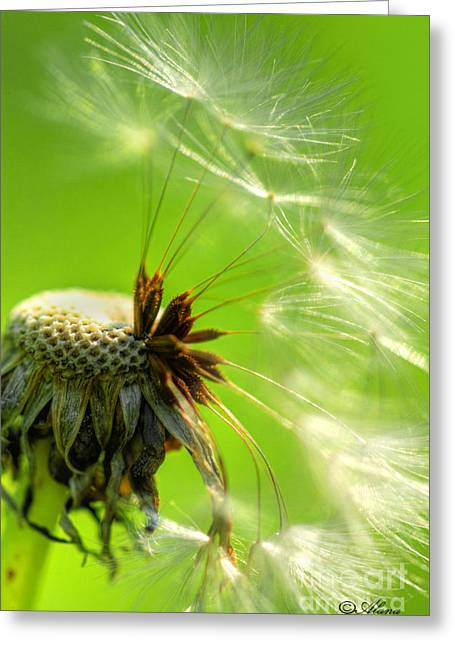 Greeting Card featuring the photograph Dandelion by Alana Ranney
