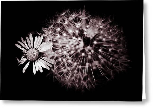 Dandelion And Daisy Greeting Card by Grebo Gray