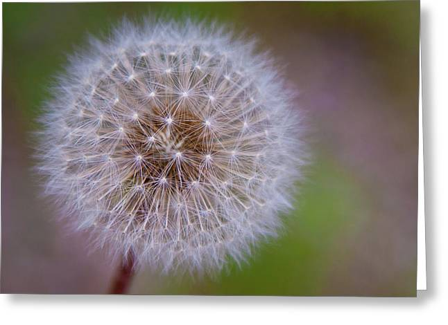 Dandelion Greeting Card by April Reppucci