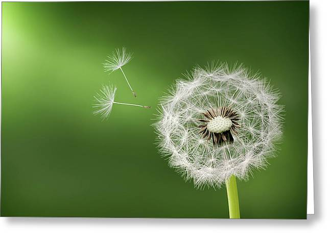Greeting Card featuring the photograph Dandelion by Bess Hamiti