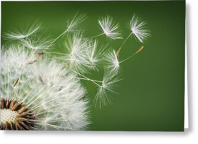 Greeting Card featuring the photograph Dandelion Blowing by Bess Hamiti