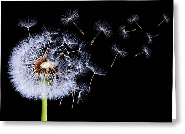 Dandelion Blowing On Black Background Greeting Card by Bess Hamiti