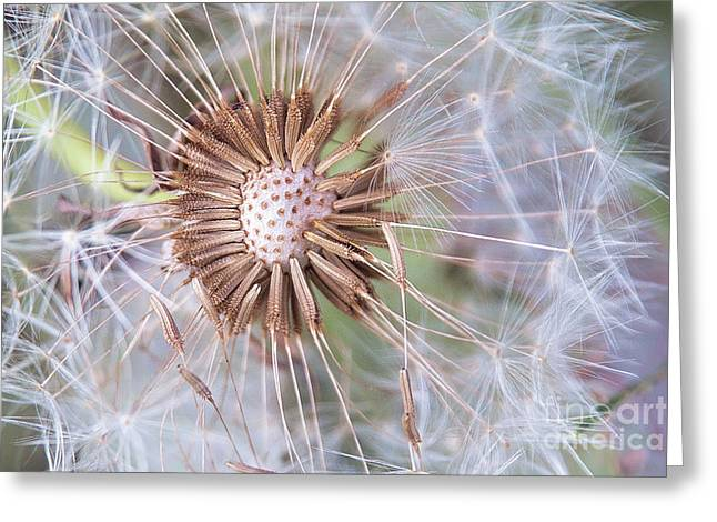 Dandelion Delicacy Greeting Card