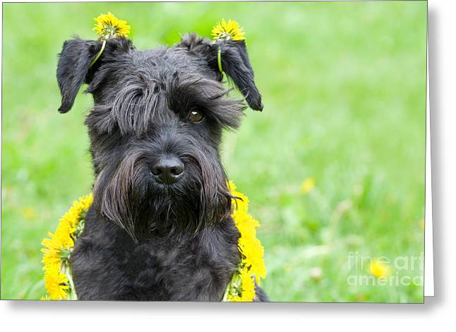 Dandelion Dog Greeting Card by Ferenc Kosa