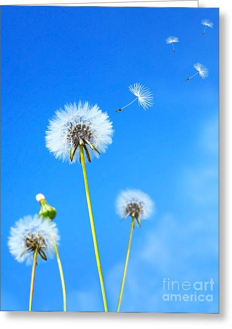 Dandelion Field Greeting Card