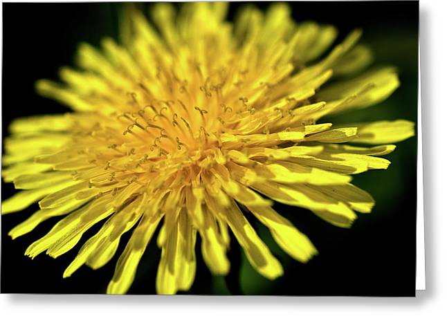 Dandelion Flower Greeting Card