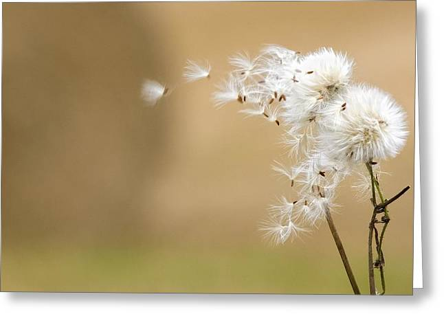 Blowing Greeting Cards - Dandelion Fluff Greeting Card by John Short