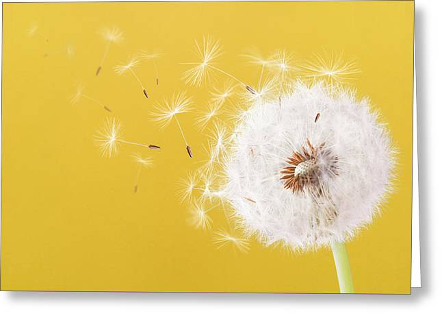 Dandelion Flying On Colorful Background Greeting Card