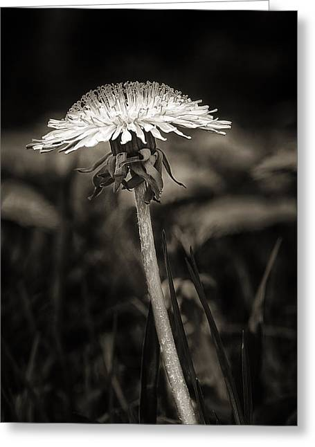 Dandelion In Black And Wite Greeting Card