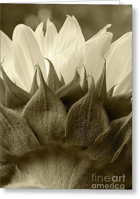 Greeting Card featuring the photograph Dandelion In Sepia by Micah May