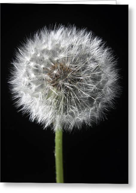 Dandelion Greeting Card by Marc Huebner