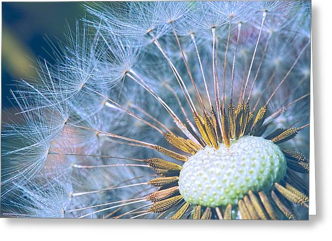 Dandelion Plumes Greeting Card