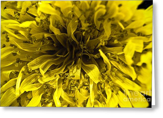 Dandelion Greeting Card by Ryan Kelly