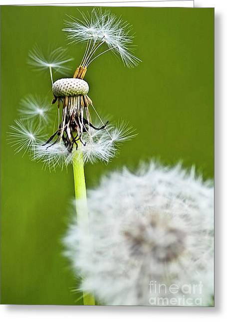 Dandelion Sead Spreading Greeting Card by Heiko Koehrer-Wagner