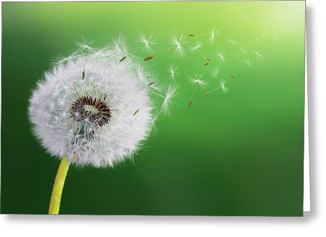 Greeting Card featuring the photograph Dandelion Seed by Bess Hamiti