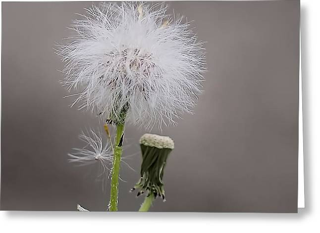 Dandelion Seed Head Greeting Card by Rona Black