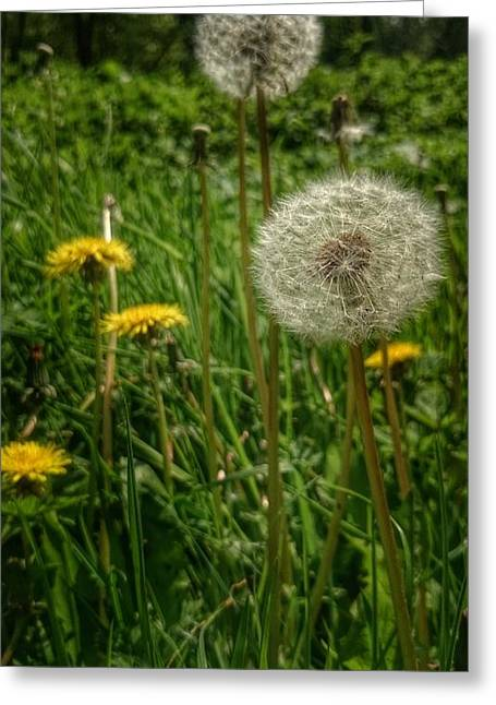 Dandelion Seeds Greeting Card by Isabella F Abbie Shores FRSA