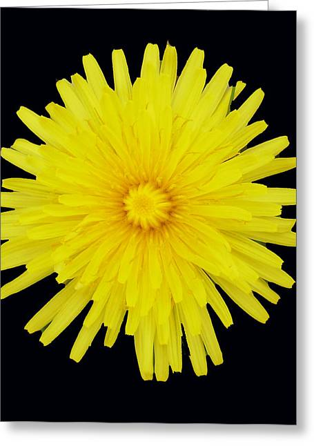 Dandelion Greeting Card by Shirley anne Dunne