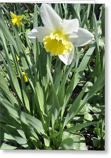 Dandy Daffodils Greeting Card by Brynn Ditsche