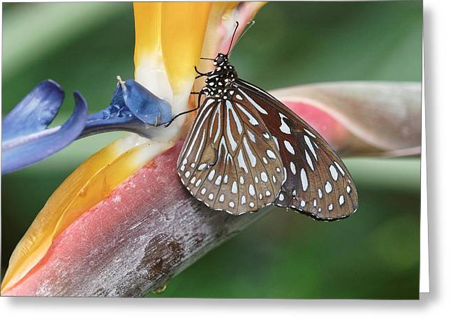 Greeting Card featuring the photograph Dark Blue Tiger Butterfly - 1 by Paul Gulliver