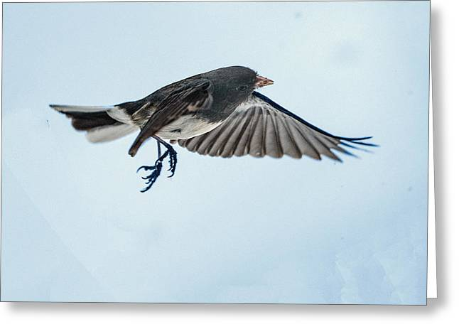 Dark-eyed Junco Flying Greeting Card