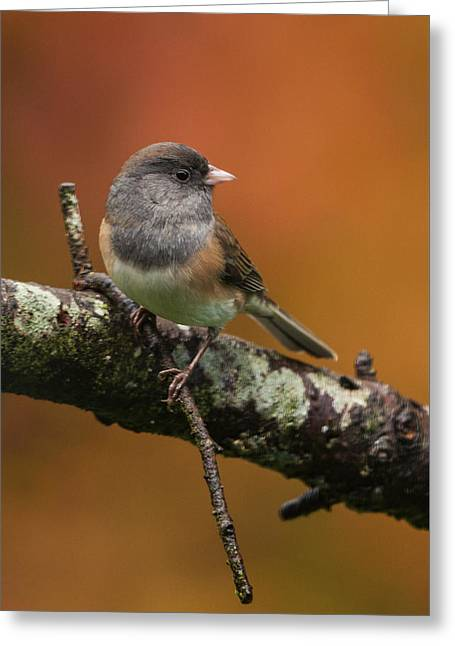 Dark-eyed Junco In Autumn Greeting Card by Angie Vogel
