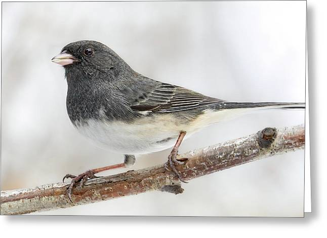Dark-eyed Junco In Minnesota Greeting Card