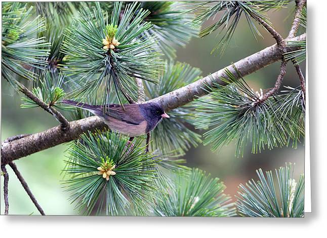 Dark-eyed Junco On A Pine Tree Greeting Card by David Gn
