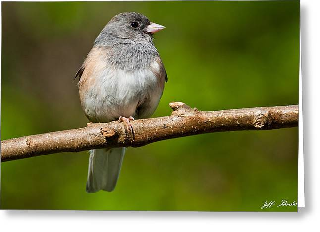 Dark Eyed Junco Perched On A Branch Greeting Card