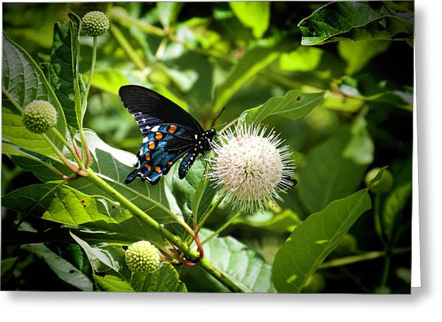 Dark Morph Of The Eastern Tiger Swallowtail Butterfly Greeting Card