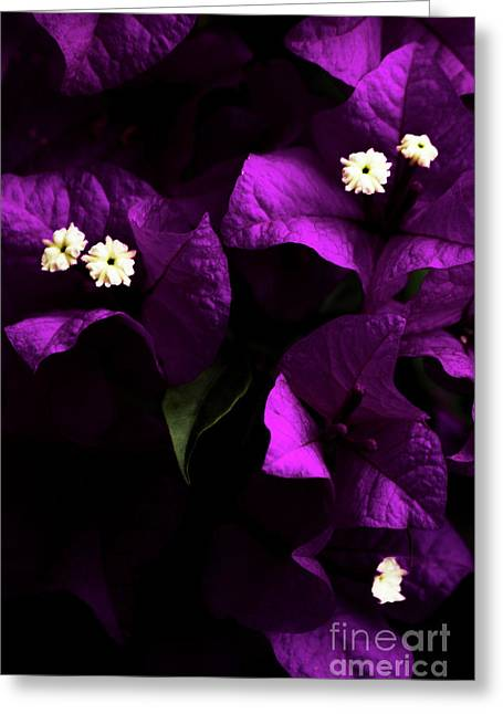 Dark Purple Bougainvillea Flowers Greeting Card by Jorgo Photography - Wall Art Gallery