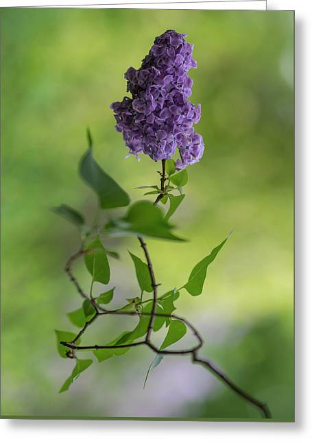 Dark Violet Lilac Greeting Card