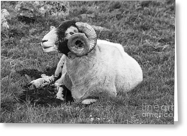 Dartmoor Sheep 1 Greeting Card by Ian Dagnall