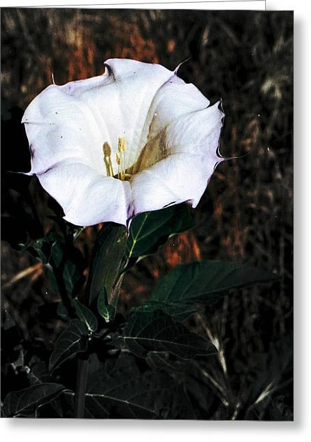 Datura Blossum Greeting Card by Richard Henne