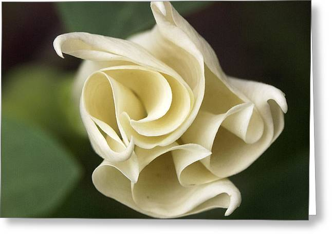 Datura Greeting Card by Tom  Wray