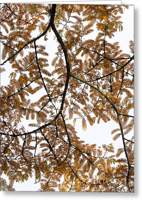 Dawn Redwood Autumn Foliage Greeting Card