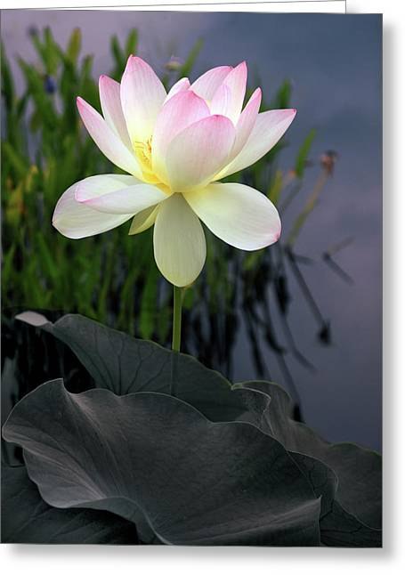 Dawning Lotus Greeting Card by Jessica Jenney