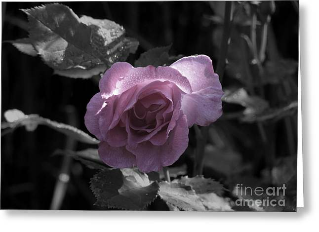 Dawning Pink Rose Greeting Card by Laura McPherson