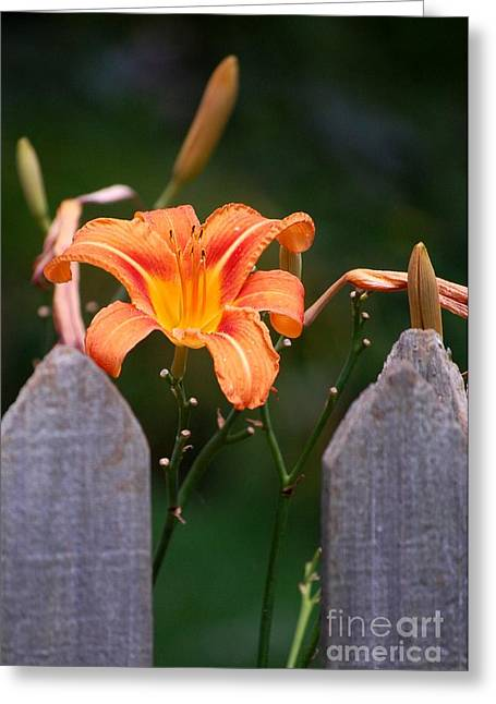 Day Lilly Fenced In Greeting Card by David Lane