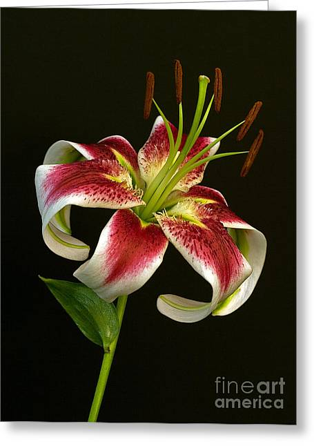 Day Lily Majesty Greeting Card by Robert Pilkington