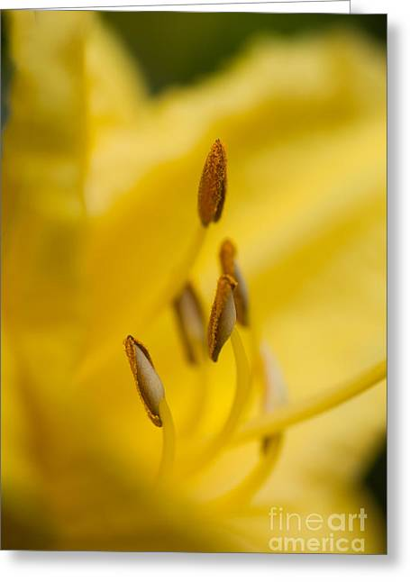 Day Lily Greeting Card by Sue OConnor