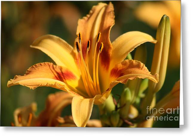 Daylillies0205 Greeting Card by Gary Gingrich Galleries